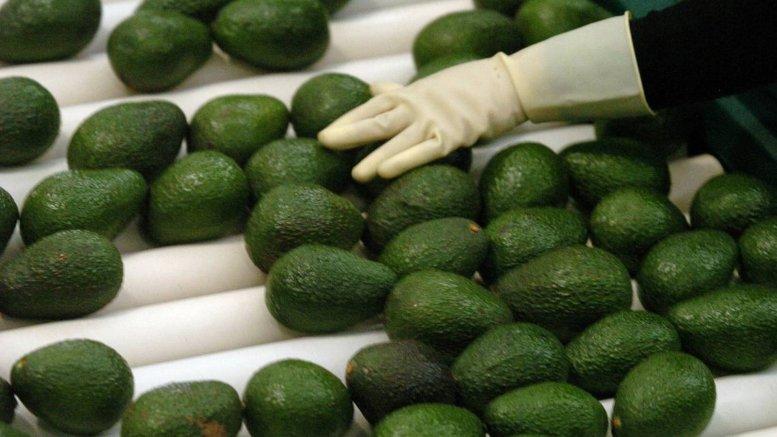 Aguacate mexicano, producto con calidad de exportación | Foto: Especial