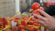 Trabajador revisando jitomates en una distribuidora de Estados Unidos | Foto: Especial