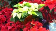 Plantas para regalar en navidad | Foto: Especial.