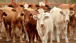 Imagen ilustrativa de ganado | Foto: especial