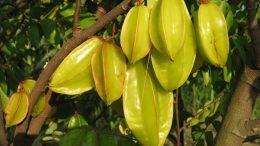 Árbol de fruto de Carambolo   Foto: especial