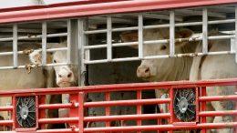 Imagen de transporte de ganado bovino | Foto: Especial