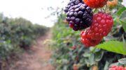 Actualmente un 97% de arándanos, fresas, frambuesas y zarzamoras se envían a EU y Canadá.