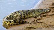 El lagarto fue visto en la playa Pie de la Cuesta, y la Coordinación General de Protección Civil y Bomberos se mantiene en alerta para la captura del reptil.
