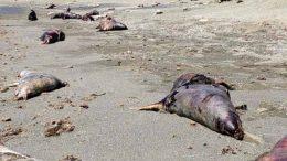 La tragedia ambiental tuvo lugar en la región del Golfo de Ulloa, donde el jueves pasado pescadores hallaron al menos 150 ejemplares varados sobre la arena en Cabo San Lázaro